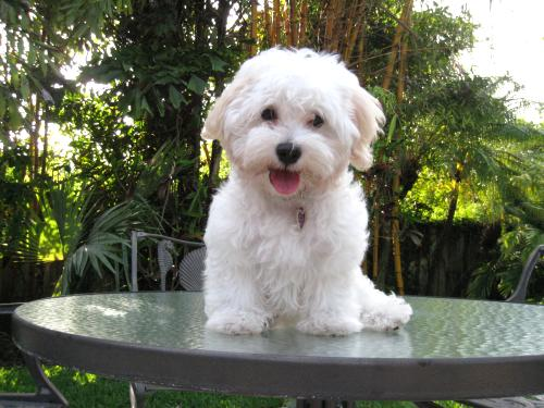 Coton de tulear haircut pictures