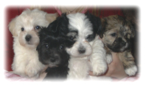 Havanese Puppies For Sale from Canadian Breeders in British