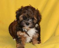 Elite Havanese Dog Breeder has Puppies for Sale on Vancouver