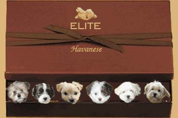 Elite Havanese Dog Breeder has Puppies for Sale on Vancouver Island